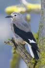 Clark's Nutcracker by Mick Dryden