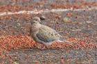 Mourning Dove by Mick Dryden