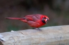 Northern Cardinal by Miranda Collettr