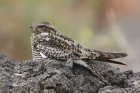 Common Nighthawk by Mick Dryden