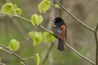 Orchard Oriole by Mick Dryden