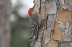 Red-bellied Woodpecker by Mick Dryden