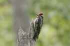 Red-naped Sapsucker by Mick Dryden