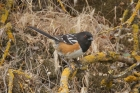 Spotted Towhee by Mick Dryden
