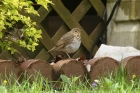 Swainsons Thrush by Mick Dryden