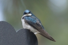 Tree Swallow by Mick Dryden