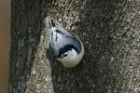 White breasted Nuthatch by Mick Dryden