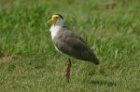 Masked Lapwing by Mick Dryden