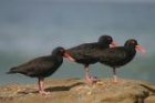 Sooty Oystercatcher by Mick Dryden
