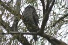 Tawny Frogmouth by Mick Dryden