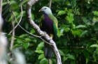 Wompoo Fruit-Dove by Mick Dryden