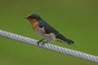 Welcome Swallow by Mick Dryden