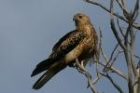 Whistling Kite by Mick Dryden