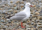 Red-billed Gull by Tim Ransom