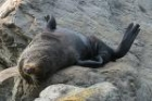 New Zealand Fur Seal by Mick Dryden