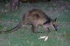 Swamp Wallaby by Mick Dryden