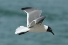 Laughing Gull by Mick Dryden