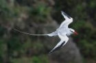 Red-billed Tropicbird by Mick Dryden