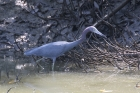 Little Blue Heron by Mick Dryden