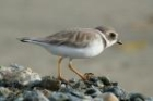Semi-palmated Plover by Mick Dryden