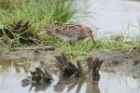 Wilson's Snipe by Mick Dryden