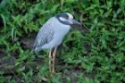 Yellow-crowned Night Heron by Mick Dryden