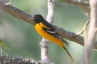 Baltimore Oriole by Mick Dryden