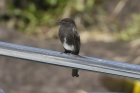 Black Phoebe by Mick Dryden