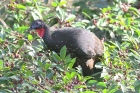 Crested Guan by Mick Dryden