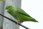 Green-rumped Parrotlet by Mick Dryden