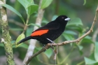 Passerini's Tanager by Mick Dryden