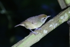 Plain Antvireo by Mick Dryden