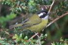 Sooty-capped Chlorospingus by Mick Dryden