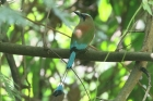 Turquoise-browed Motmot by Mick Dryden
