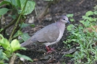 White-tipped Dove by Mick Dryden
