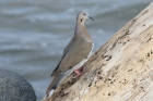 White-winged Dove by Mick Dryden