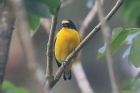 Yellow-throated Euphonia by Mick Dryden