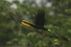 Crested Oropendola by Mick Dryden