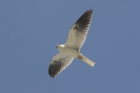 White-tailed Kite by Mick Dryden
