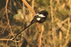 Magpie Shrike by Mick Dryden
