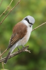 Red backed Shrike by Mick Dryden