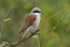 Red-backed Shrike by Mick Dryden