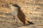 Burchell's Coucal by Mick Dryden