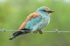 European Roller by Mick Dryden