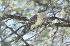Great Spotted Cuckoo by Mick Dryden
