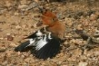 African Hoopoe by Mick Dryden