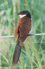 Senegal Coucal by Mick Dryden