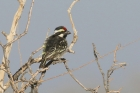 Acacia Pied Barbet by Mick Dryden