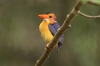 African Pygmy Kingfisher by Mick Dryden