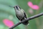 Speckled Hummingbird by Mick Dryden